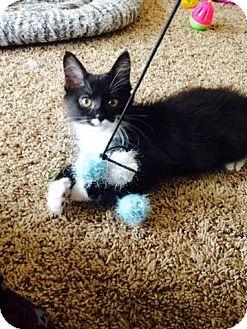 Domestic Mediumhair Kitten for adoption in Columbus, Ohio - Sapphire