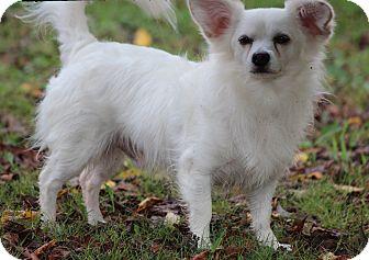Papillon Mix Dog for adoption in Yadkinville, North Carolina - Fluffy