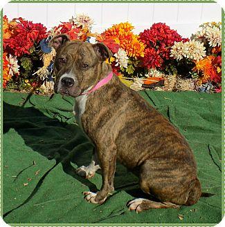 Pit Bull Terrier/Boxer Mix Dog for adoption in Marietta, Georgia - KRISSY