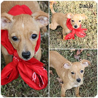 Chihuahua Mix Puppy for adoption in Cranford, New Jersey - Diablo