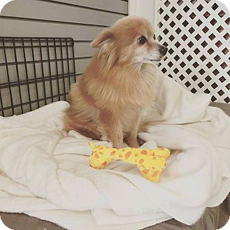 Pomeranian Mix Dog for adoption in Shelbyville, Kentucky - Marge