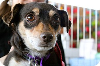 Beagle/Chihuahua Mix Dog for adoption in Los Angeles, California - Charlotte