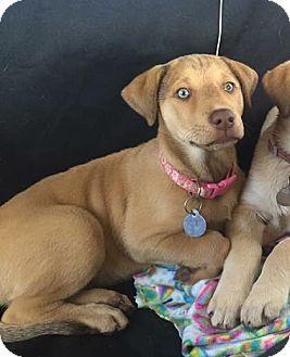 Labrador Retriever/Husky Mix Puppy for adoption in Marietta, Georgia - Callie