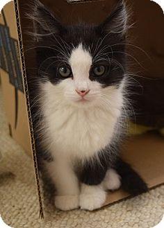 Domestic Mediumhair Kitten for adoption in Hillside, Illinois - Fiona-10 WEEKS