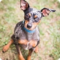 Adopt A Pet :: Oliver - Syracuse, NY