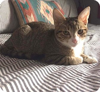 Domestic Shorthair Kitten for adoption in Lombard, Illinois - Papaya