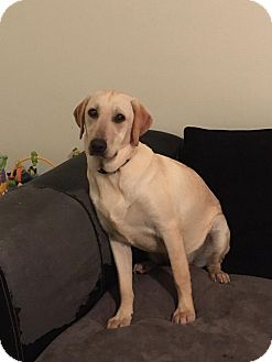 Labrador Retriever Puppy for adoption in Streamwood, Illinois - Sunshine