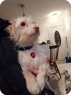 Terrier (Unknown Type, Small)/Chihuahua Mix Dog for adoption in Troy, Michigan - Sierra