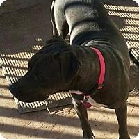 Adopt A Pet :: Ladybug - Mesa, AZ