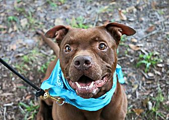 Pit Bull Terrier Mix Dog for adoption in Odessa, Florida - Horatio