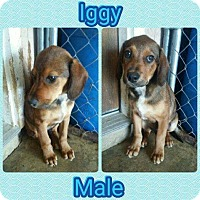 Adopt A Pet :: Iggy-pending adoption - Manchester, CT
