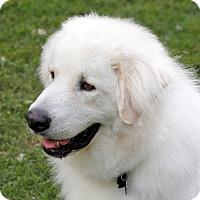 Adopt A Pet :: Comrade  *Adopted - Tulsa, OK