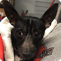Adopt A Pet :: Elvis - Middletown, OH