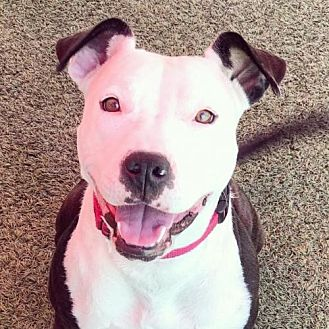 Pit Bull Terrier Mix Dog for adoption in Pasadena, California - NICKY