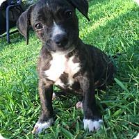 Adopt A Pet :: Cello - Dallas, TX