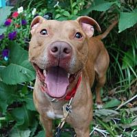 Adopt A Pet :: Brownie - Wilmington, DE