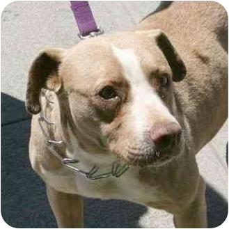 American Pit Bull Terrier Mix Dog for adoption in Berkeley, California - Selma