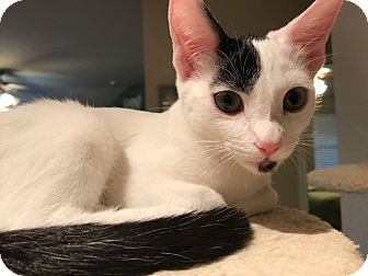 Domestic Shorthair Kitten for adoption in Plano, Texas - ARIEL-I GOTTA GOTTEE!
