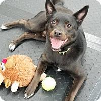 Adopt A Pet :: Midnight - Plainfield, IL