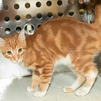 Adopt A Pet :: Marmalade - Dallas, TX