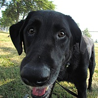 Adopt A Pet :: Harley  FAMILY GUY - House Springs, MO