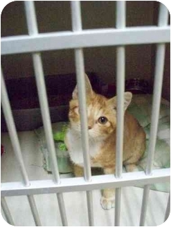 Domestic Shorthair Kitten for adoption in Cold Lake, Alberta - Morris