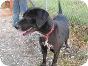 Labrador Retriever Mix Dog for adoption in Wamego, Kansas - Raylee