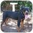 Photo 1 - Rottweiler/Labrador Retriever Mix Dog for adoption in Tracy, California - Tanya
