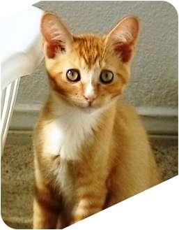 Domestic Shorthair Kitten for adoption in Las Vegas, Nevada - Keegan