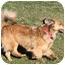 Photo 3 - Sheltie, Shetland Sheepdog/Dachshund Mix Dog for adoption in Sacramento, California - Sydney