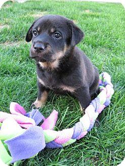 Rottweiler/Shepherd (Unknown Type) Mix Puppy for adoption in Saskatoon, Saskatchewan - Meg