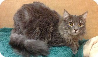 Domestic Longhair Kitten for adoption in Modesto, California - Simon