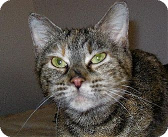 Domestic Shorthair Cat for adoption in Fort Wayne, Indiana - Tulip