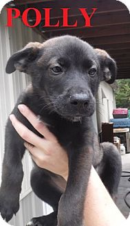 German Shepherd Dog Mix Puppy for adoption in Franklin, North Carolina - POLLY