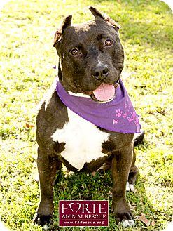 Staffordshire Bull Terrier Dog for adoption in Marina del Rey, California - Parma