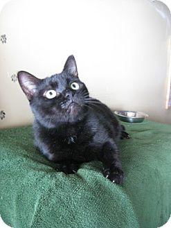 Domestic Shorthair Cat for adoption in Bloomsburg, Pennsylvania - Voodoo