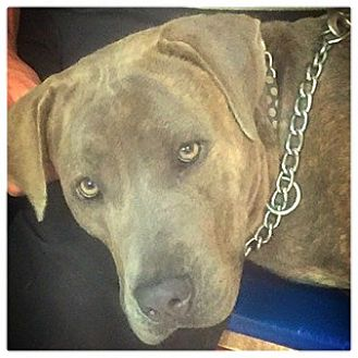 Weimaraner/Mastiff Mix Dog for adoption in Miami, Florida - Sammy