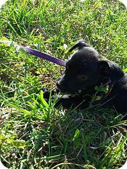 Dachshund/Chihuahua Mix Puppy for adoption in Myakka City, Florida - Elsa