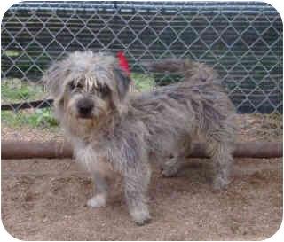 Schnauzer (Miniature)/Dachshund Mix Dog for adoption in Dodge City, Kansas - Highway