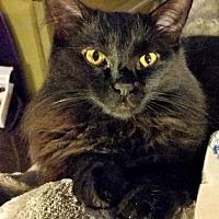 Adopt A Pet :: Godiva - Oak Ridge, TN