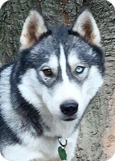 Siberian Husky Dog for adoption in Memphis, Tennessee - Meeko