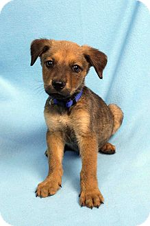 Retriever (Unknown Type)/Shepherd (Unknown Type) Mix Puppy for adoption in Westminster, Colorado - DUNCAN