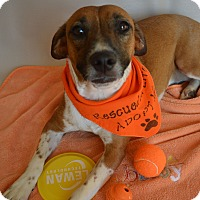 Adopt A Pet :: Pippa - Aurora, CO