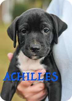 Labrador Retriever Mix Puppy for adoption in Colmar, Pennsylvania - Achilles