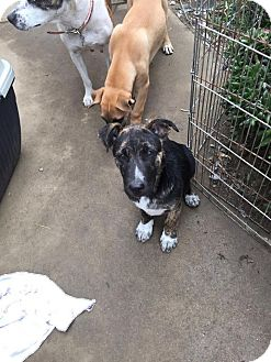 Belgian Malinois/Bull Terrier Mix Puppy for adoption in BONITA, California - PABLITO