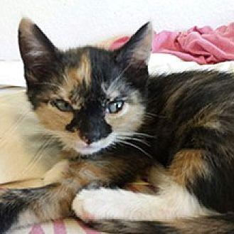 Domestic Shorthair Cat for adoption in Phoenix, Arizona - Mila