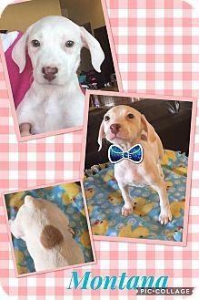Hound (Unknown Type)/Labrador Retriever Mix Puppy for adoption in Scottsdale, Arizona - Montana