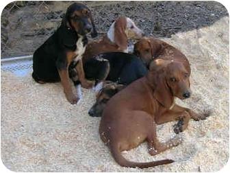 Redbone Coonhound/Black and Tan Coonhound Mix Puppy for adoption in Paragould, Arkansas - Hound puppies