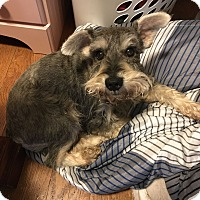 Miniature Schnauzer Dog for adoption in Sharonville, Ohio - Chase