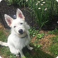 Poodle (Standard)/Husky Mix Dog for adoption in Goldens Bridge, New York - Faith
